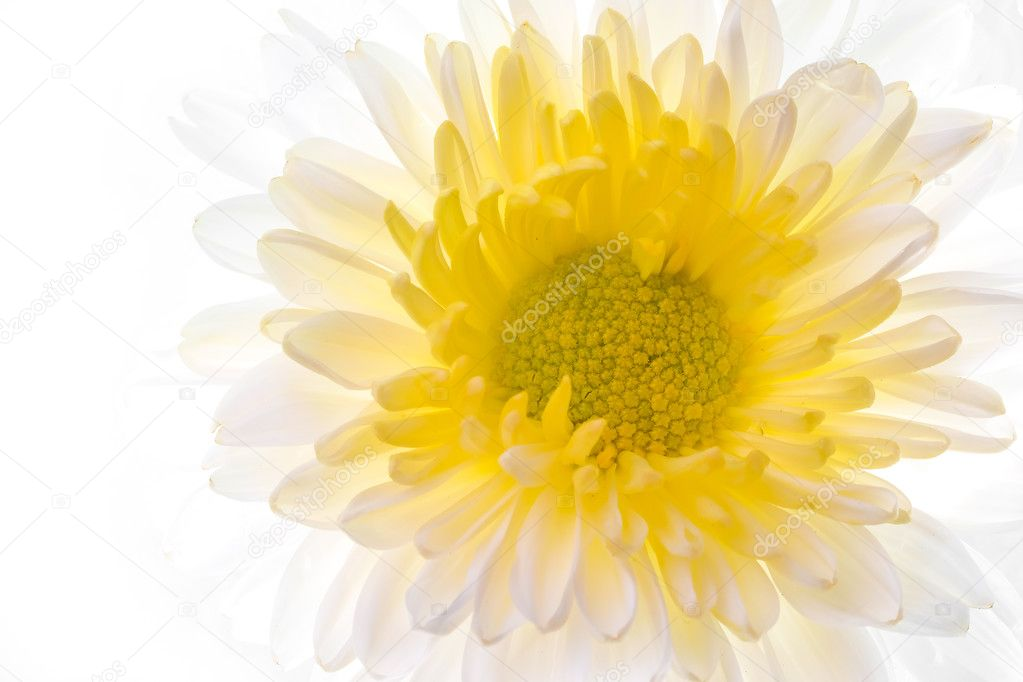 Beautiful daisy flower on the white background