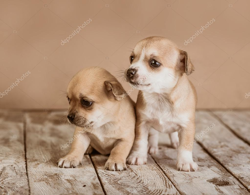 Chihuahua Puppies On A Wooden Background Stock Photo Nata