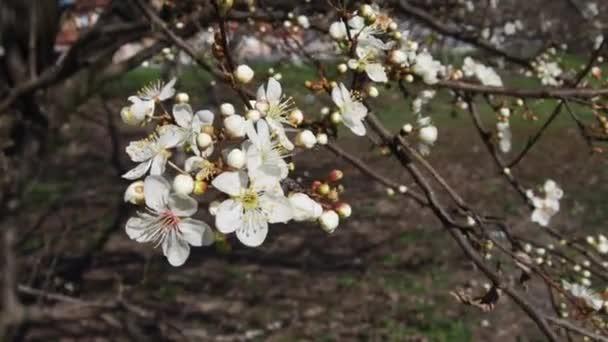 Strom kvetoucí s bílými květy proti modré obloze. Třešeň, jablko, švestka nebo třešeň v kvetoucím stavu. Na jaře slunečné počasí. Větve stromu se houpají ve větru. Orchard na jaře. Zemědělství