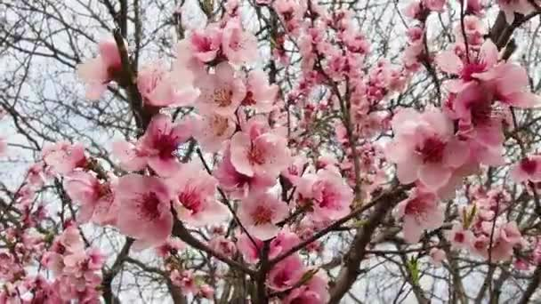 Pink flowers on the tree. Beautiful wild flowering in the spring garden. Cherry or plum branches with buds, opened petals, stamens and pistils. Agriculture and horticulture.