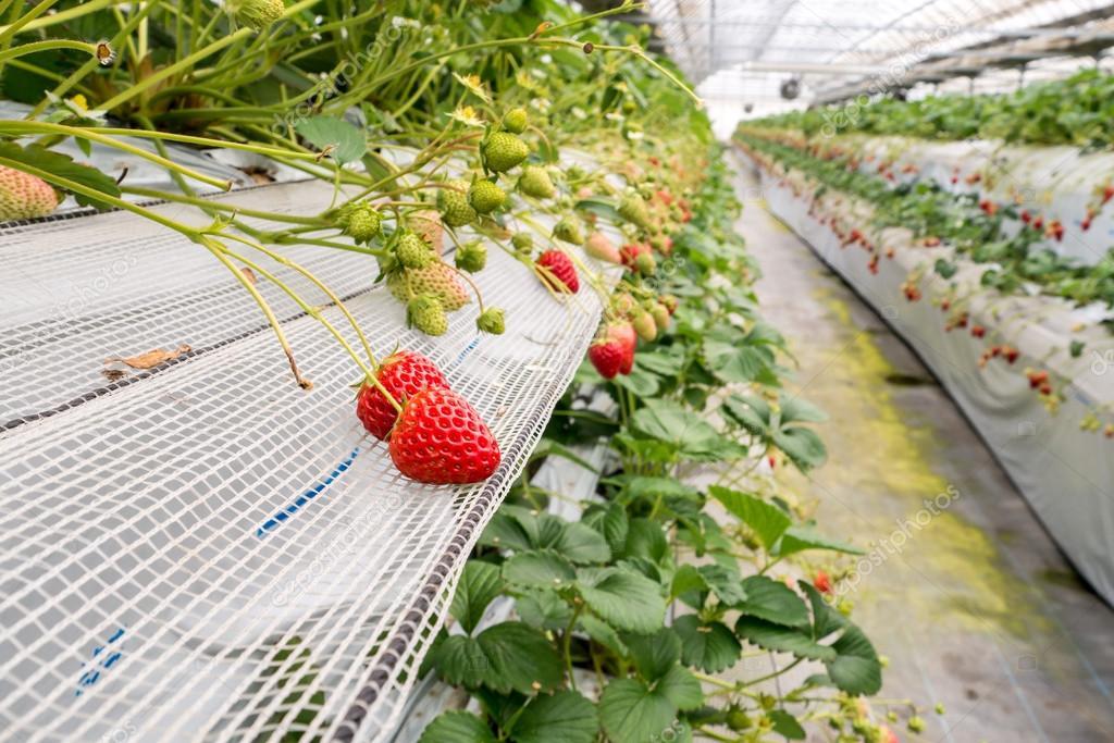 Coltivazione di fragole in pianta foto stock wittybear for Pianta di fragole