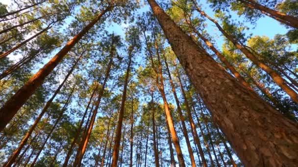 borovice lesní s slunečního záření