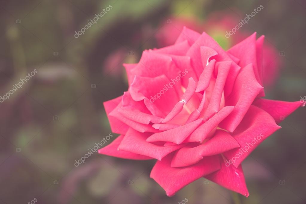 Belle fleur rose sur le ton de jardin couleur rétro — Photographie ...