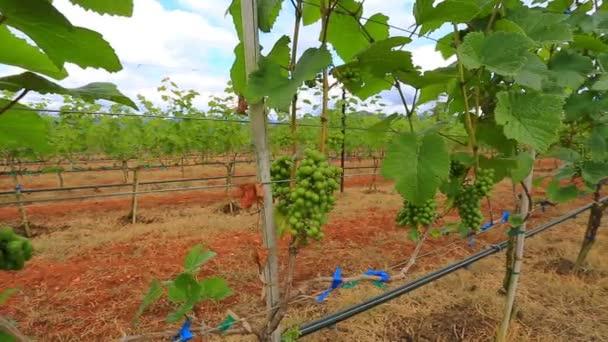 Rostliny rostoucí na vinici