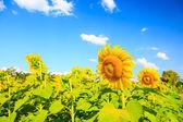 Slunečnice rostlina na modré obloze
