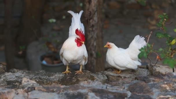 White bantam and chicken