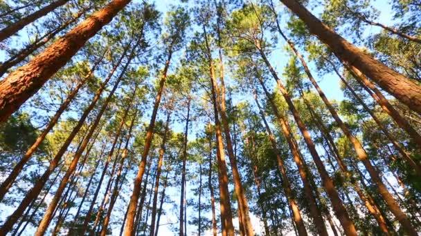 fenyves erdő a napfény