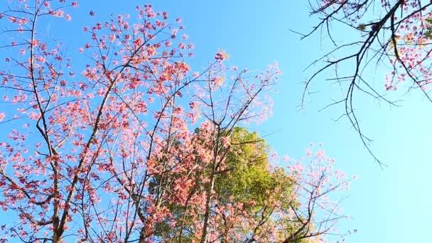 třešeň divoká himálajské jarní květy
