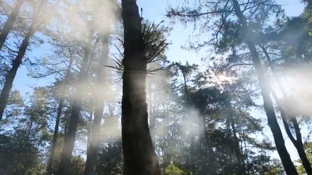 Fenyves erdő a napfény és a köd