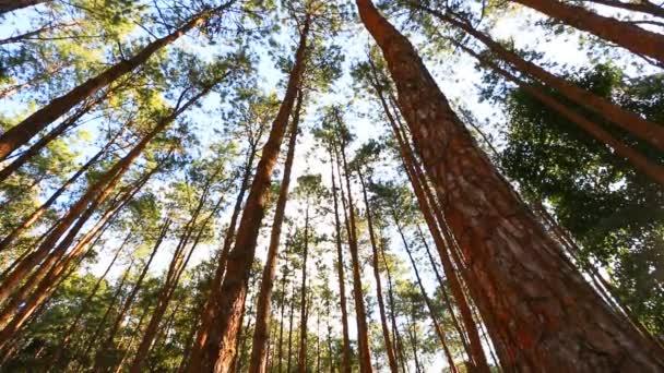 Borovice lesní s slunečního záření a mlha