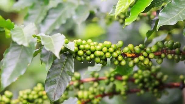 Szemes kávé nyers ültetvény