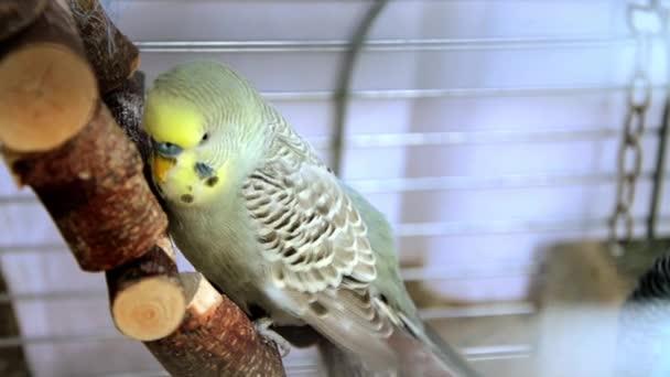 Cocorita pták