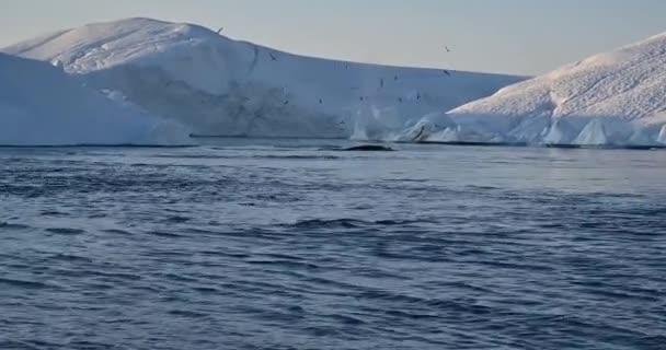 Schwimmende Wale in der Bucht in der Nähe der großen Gletscher