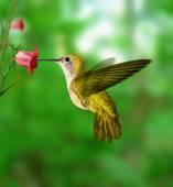 Kolibřík krmení od květ