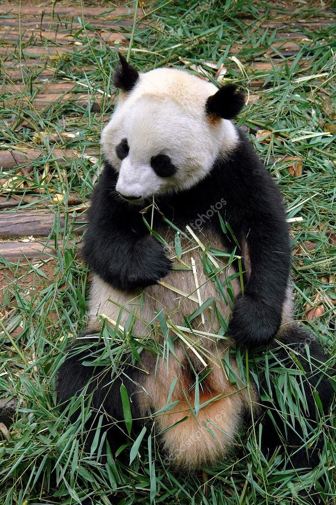 Chengdu China Panda Bambus Essen Stockfoto C Leesnider 63812699
