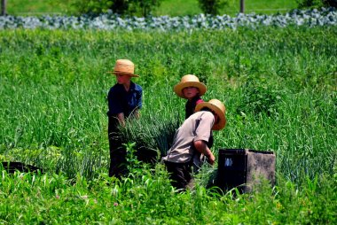 Lancaster County, PA: Three Amish Youths Harvesting Scallions