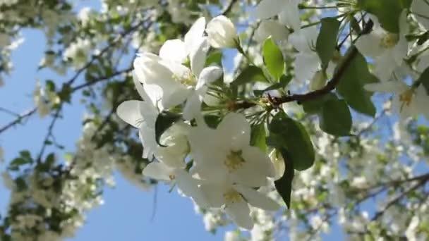 otevírající krásnou květinu jablek. Jarní kvetoucí rostliny. Selektivní zaměření a rozmazané pozadí. Jarní příroda.