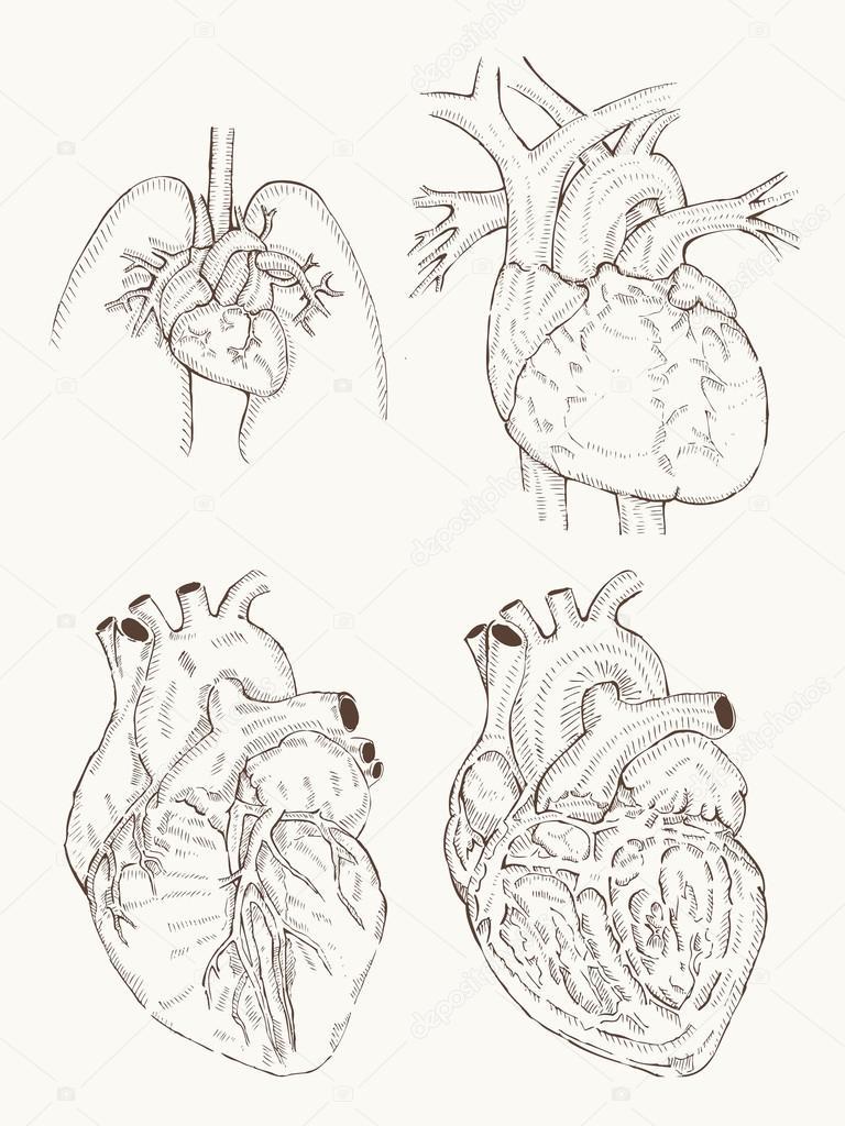 Herz-Anatomie-Hand Zeichnen — Stockvektor © foxroar #84087020