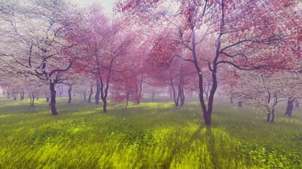 Virágzó cseresznye fák, a napfény