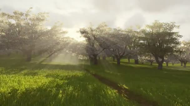 Kvetoucí třešňový sad na slunci. Časová prodleva