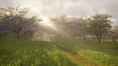 Blossoming cherry orchard in the sunlight 1