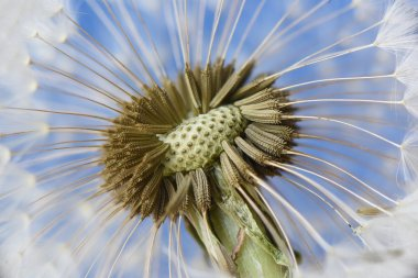 Closeup of dandelion on blue background
