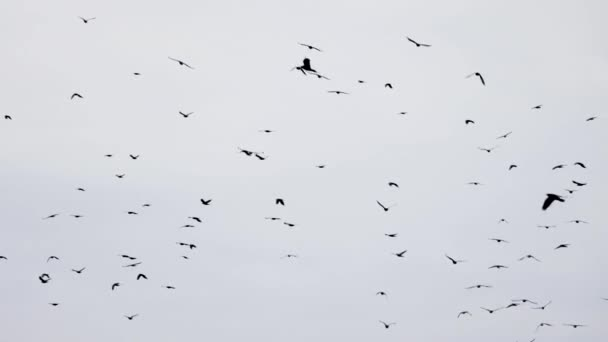 Hejno vrán letí v nedokonalé formaci. Zpomal, ptáci letí ve formaci. Migrující velcí ptáci létají ve formaci. Velké hejno ptáků