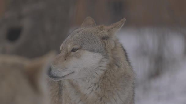 Portré egy szürke farkas Canis Lupus télen, közelkép egy ragadozó. 4K lassított felvétel, ProRes 422, osztályozatlan C-LOG 10 bit