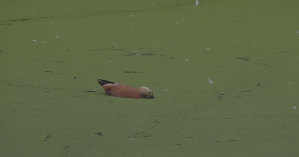Duck on a blooming lake. Ruddy shelduck Tadorna ferruginea is a member of the family Anatidae. Tadorna ferruginea swimming on a lake. 4K slow motion 120 fps video, ProRes 422, ungraded C-LOG 10 bit