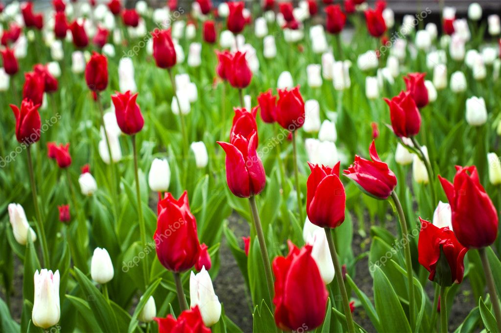 Beautiful red and white tulips in the flower bed stok foto beautiful red and white tulips in the flower bed nelyninell fotoraf mightylinksfo