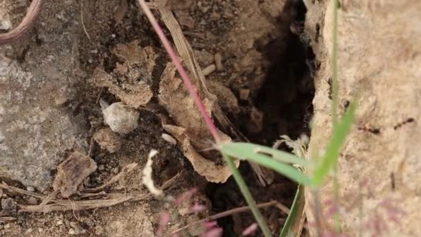 Bullet little black ants catch eggs in the mouth and emerge from the nest or anthills.  concept for anthill, ant egg, ant colony,ant habits and ant wildlife