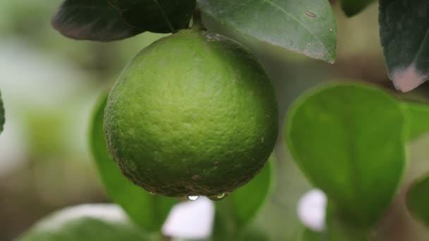 Nahaufnahme einer frischen grünen Bio-Linde, die an einer Linde im Garten hängt
