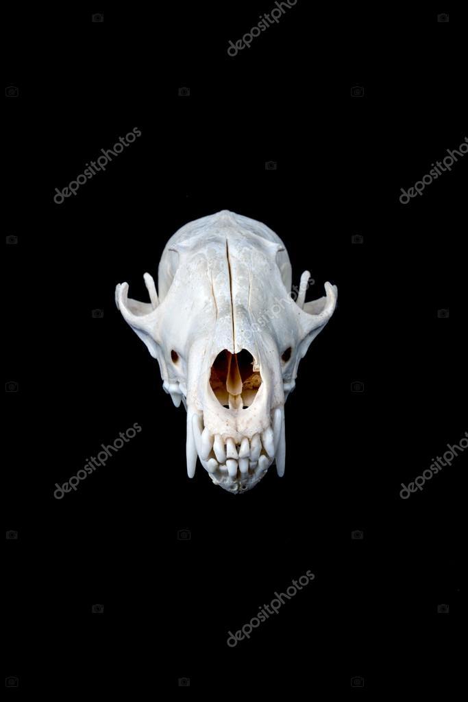 Baby black bear skull | Fox skull — Stock Photo © Licccka