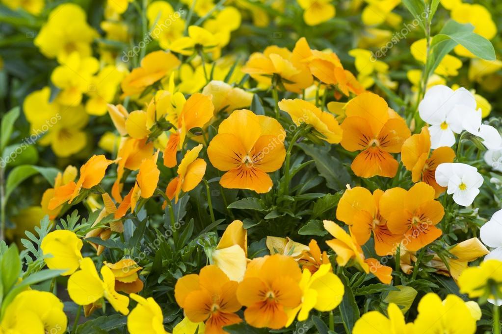 fleur pensee jaune photographie ctvvelve 114992638. Black Bedroom Furniture Sets. Home Design Ideas
