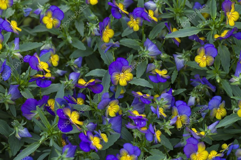 Flor campanilla morada | flor morada marica — Foto de stock