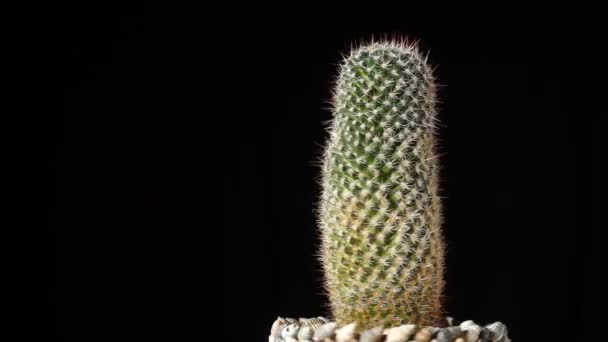 Cactus on black background, seamless loop footage