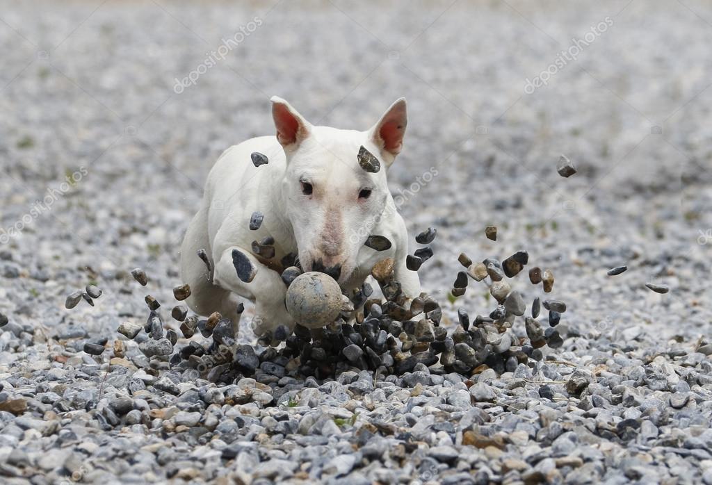 Bull terrier sliding in the rocks to get the ball