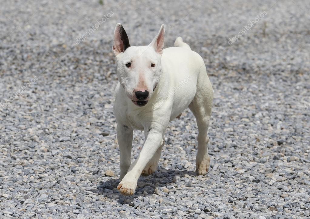 White bull terrier running on the rocks