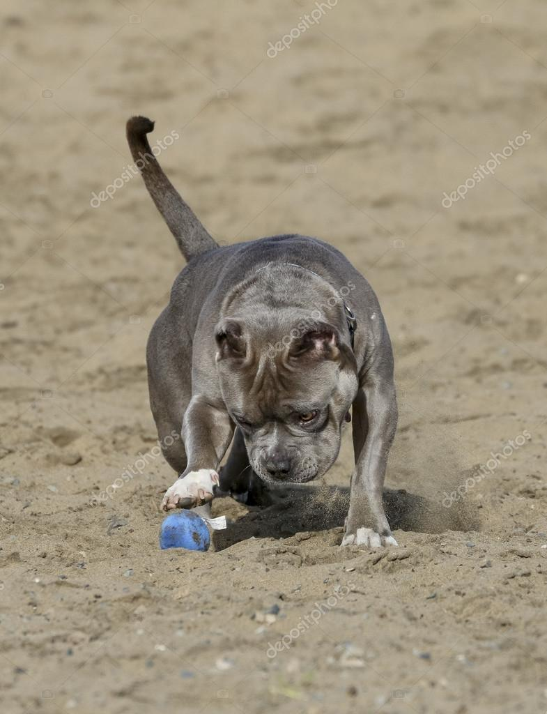 Gray pitbull playing with a toy in the sand