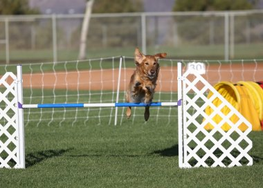 A Golden Retriever jumping in agility