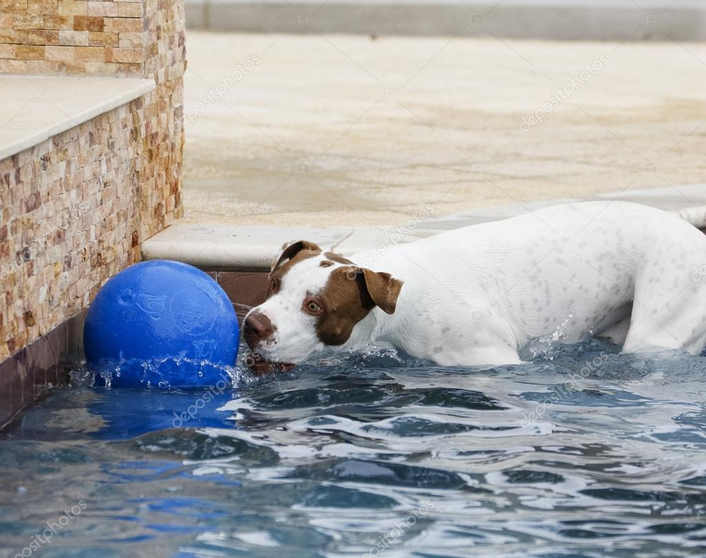 Dog in the pool with a ball