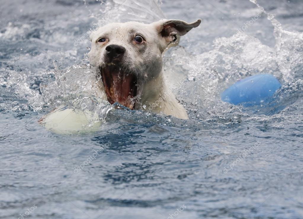 Dog in the water with an open mouth