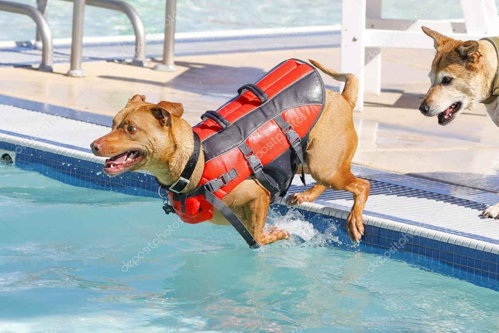 Dog Jumping Into The Pool In A Life Vest Stock Photo