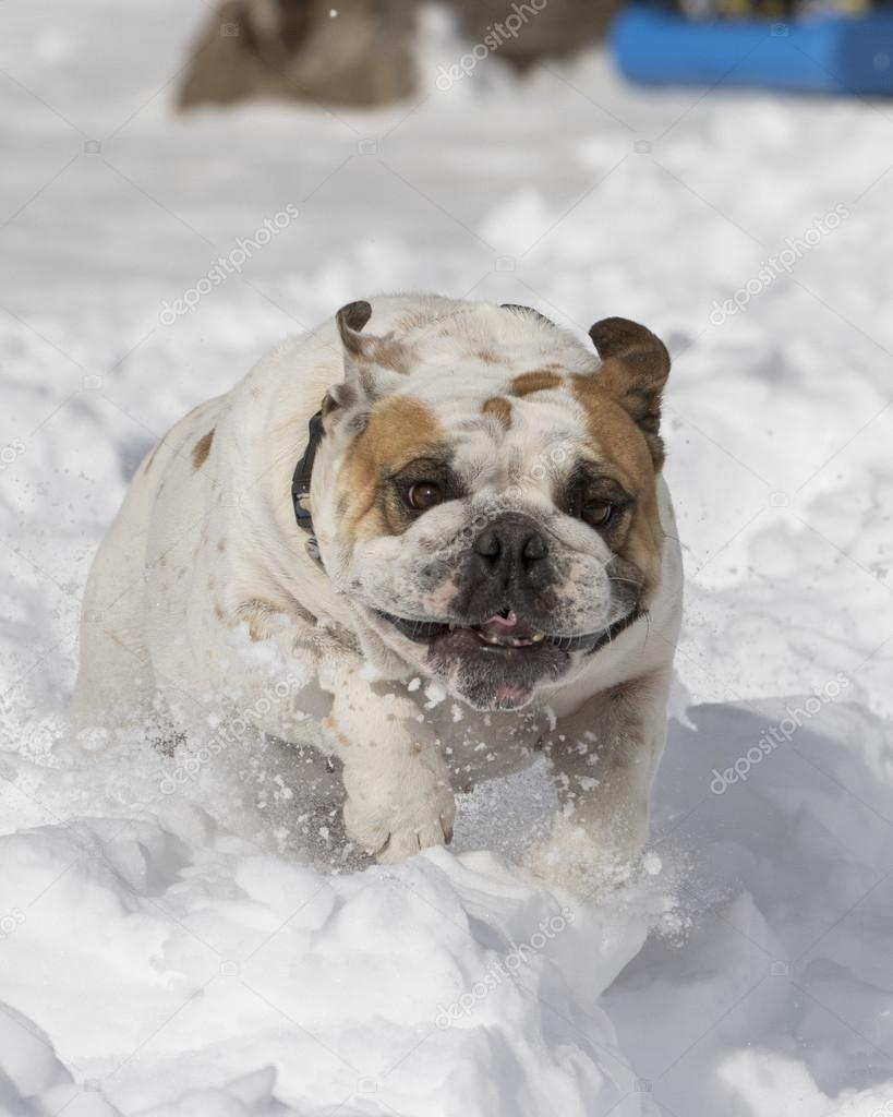 Close up of bulldog playing in the snow