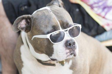 Staffordshire bull Terrier in sunglasses