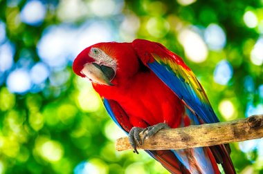 Red ara parrot outdoor