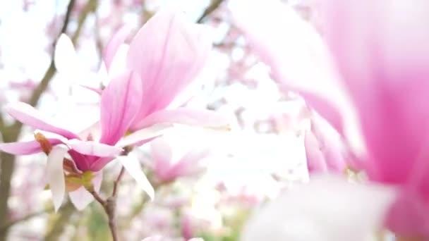 Closeup kvetoucí magnólie