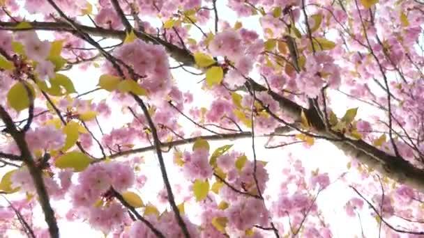 Rózsaszín, virágzó fa