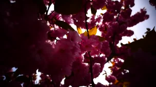 Japonská třešeň kvetoucí