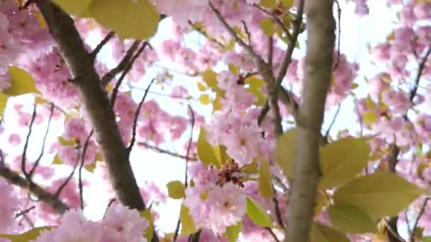 Růžová, kvetoucí třešeň